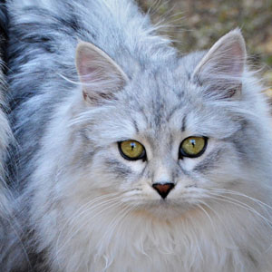 artekatz|Siberian with bright eyes